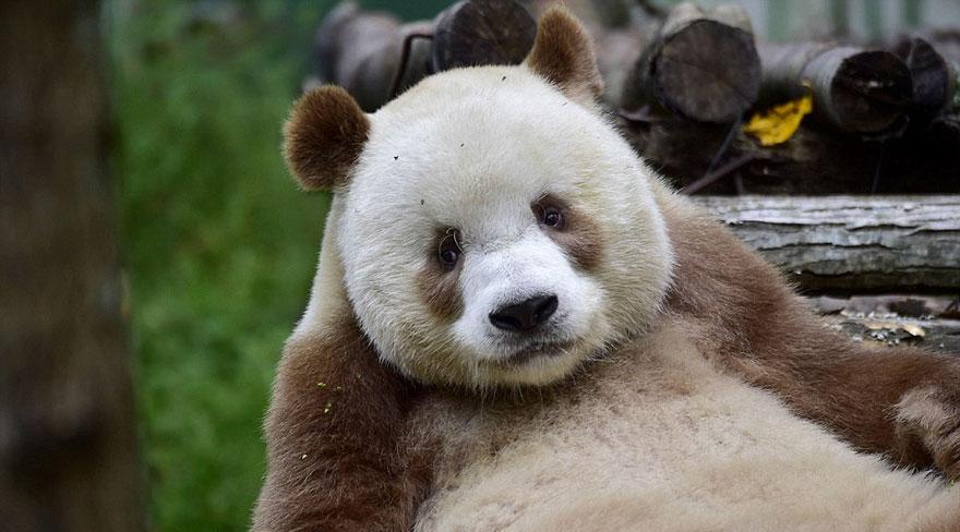 o-unico-panda-marrom-no-mundo-curiosidade-blog-usenatureza